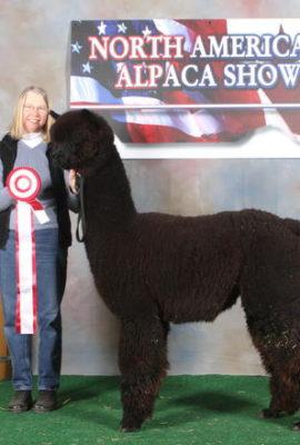 Snowfield's Paladin, alpaca herdsire from Snowfield Alpacas