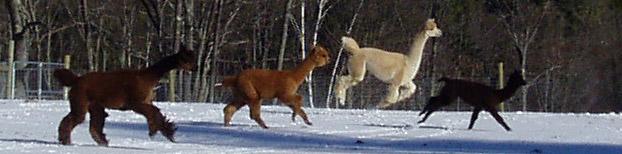 Snowfield Alpacas, Enfield, NH